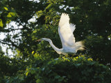 A Great Egret Spreads its Wings in its Vine-Covered Nest