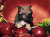 Chihuahua Puppy in Apple Basket