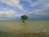 Lone Mangrove Tree Standing in the Surf