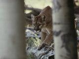 Mountain Lion Stalks Prey