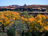 Cottonwoods along Squaw Creek at the Needles  Canyonlands National Park  USA