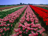 Field of Tulips  Leiden  Netherlands