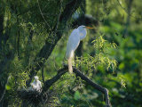 A Great  or Common  Egret on a Branch Near Her Nest and Chicks