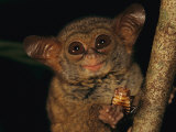 A Tiny Wide-Eyed Tarsier (Tarsius Spectrum) Relishes a Cockroach Snack