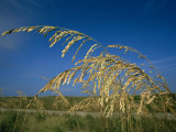 A Close View of Sea Oats Which Grow Throughout the Outer Banks