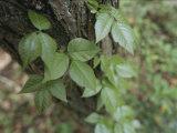 Poison Ivy Climbs a Pine Tree