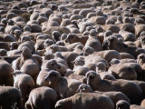 Flock of Sheep  Port Augusta  Australia