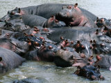 Group of Hippopotami (Hippopotamus Amphibius) in River  Masai Mara National Reserve  Kenya