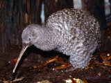 Little Spotted Kiwi (Apteryx Owenii) on the Forest Floor  New Zealand