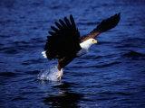 Fish Eagle (Haliaeetus Vocifer) Catching Fish in Lake  Lake Malawi National Park  Malawi