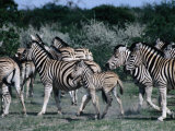 Group of Zebras  Etosha National Park  Namibia
