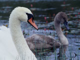 Mute Swan with Cygnet  Ireland