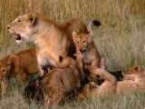 Lioness with Five Cubs on Dead Wildebeest  Masai Mara National Reserve  Rift Valley  Kenya