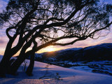 Snowgum at Sunrise on Main Range in Winter  Kosciuszko National Park  New South Wales  Australia