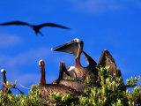 Brown Pelicans Nesting Amongst Red Mangrove  Cayos Cochinos  Islas De La Bahia  Honduras