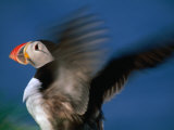 Puffin with Wings Flapping  Gossen  Nordland  Norway