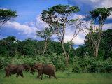 Two Bull Elephants (Loxodonta Africana)  Hwange National Park  Zimbabwe