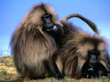 Gelada Baboons (Theropithecus Gelada) Grooming  Simien Mountains National Park  Ethiopia