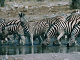 Zebras (Equus Zebra) Drinking in River  Etosha National Park  Namibia