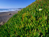 Succulents along the San Simeon Coastline  San Simeon  California  USA