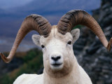 Dall Ram (Ovis Dalli)  Alaska  USA