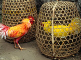 Fighting Cocks  Rosters  with Dyed Plummage Looking for a Way Out  Tenganan  Indonesia