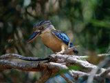 Blue Winged Kookaburra (Decelo Leachii)  Kakadu National Park  Australia