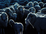 Flock of Sheep  Australia