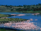 Lesser Flamingo (Phoeniconaias Minor) in Momella Lakes  Arusha National Park  Tanzania