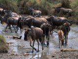 Wildebeests Migrating  Tanzania