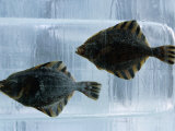 Pair of Fish Frozen in Ice for the Sapporo Yuki Matsuri (Snow Festival)  Sapporo  Hokkaido  Japan 