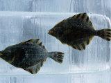Pair of Fish Frozen in Ice for the Sapporo Yuki Matsuri (Snow Festival)  Sapporo  Hokkaido  Japan