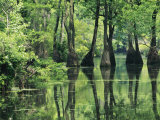 Cypress Trees Cross a Waterway in a Woodland