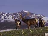Elk Bulls in Velvet Above Timberlin