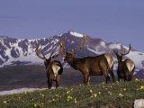 Elk Bulls in Velvet Above Timberlin