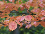 Close View of Pacific Dogwood Tree Leaves in the Fall
