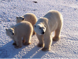 Polar Bear Mother &amp; Cubs  Thalarctos Maritimus