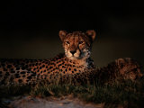 A Female African Cheetah and Her Cub Rest Together in the Early Evening