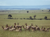 Wary Antelope Survey the African Savanna