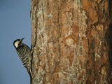Red Cockaded Woodpecker on a Tree Trunk