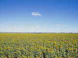 A Field of Sunflowers Stretches to the Horizon in Emerald  Queensland