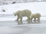 Polar Bear &amp; Cub in Churchill  Manitoba