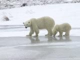 Polar Bear & Cub in Churchill  Manitoba