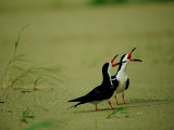 Vocalizing Black Skimmer Birds