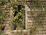 Vines Cover the Window of a Dilapidated Building