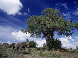 African Elephants and Baobab Tree