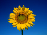 A Single Sunflower Glows against Blue Sky