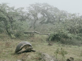 Alcedo Volcano is Home to One of the Largest Concentration of Giant Galapagos Tortoises