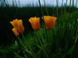 Furled California Poppy Blossoms