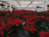 Poinsettias in Greenhouse